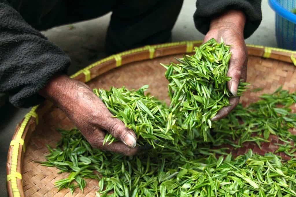 Tea is a low-calorie beverage made by pouring hot or boiling water over cured leaves of the Camellia sinensis plant